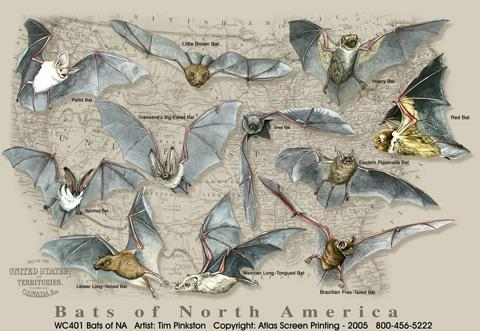 Bats of North America, Large